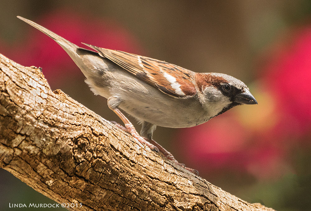 House Sparrow at my house    Sony A77II with Sony 70-400 G2 f/5.6 1/800 sec ISO 1250