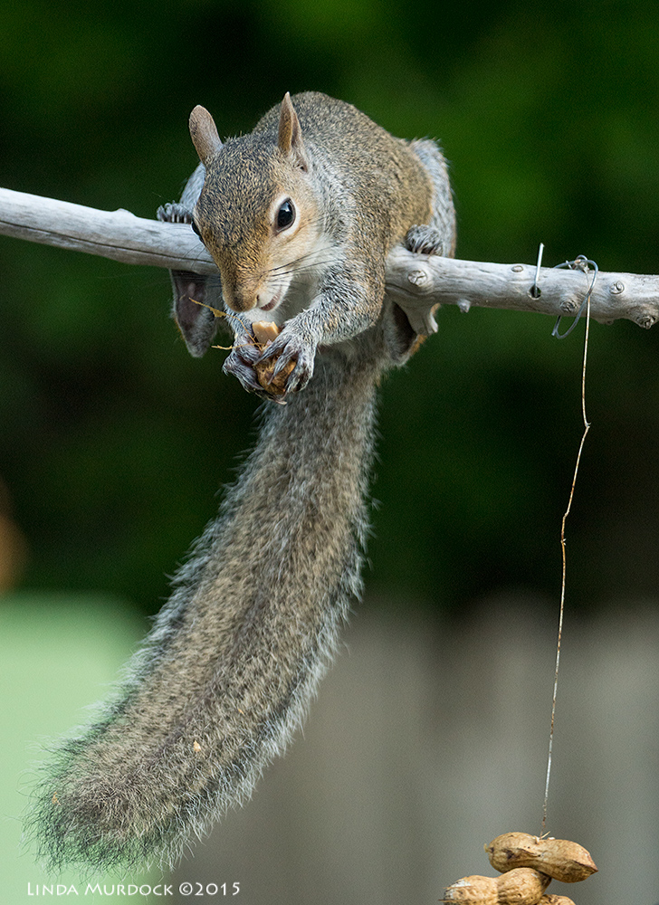 Squirrel thief enjoying his spoils    Sony A77II with Sony 70-400 G2 f/5.6 1/200sec ISO 1250