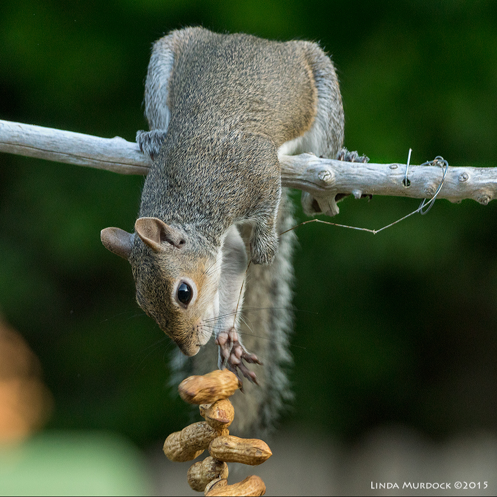 No deterrence for determined Eastern Gray Squirrel    Sony A77II with Sony 70-400 G2 f/5.6 1/200sec ISO 1250