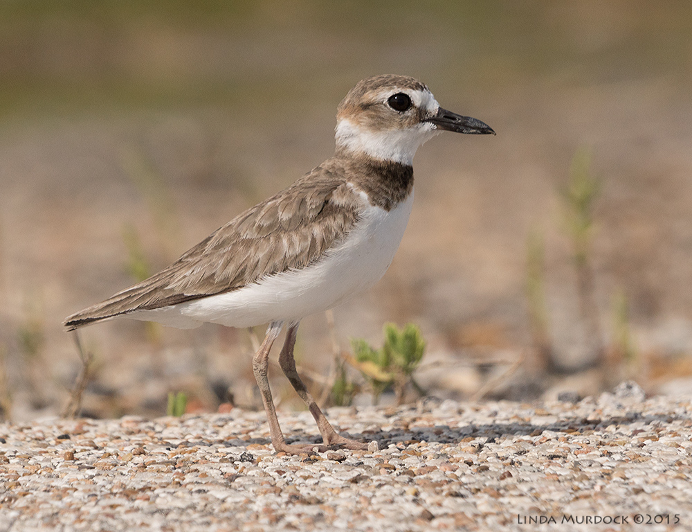 Female Wilson's Plover    Sony A77II with Sony 70-400 G2 f/7.1  1/2500 sec ISO 640