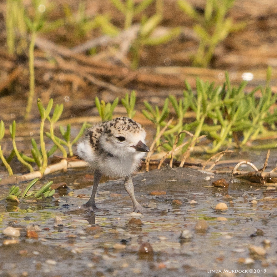 Wilson's Plover chick on his own    Sony A77II with Sony 70-400 G2 f/7.1  1/2500 sec ISO 640