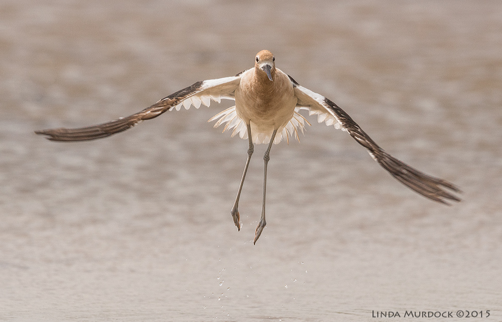 American Avocet taking off    Sony A77II with Sony 70-400 G2 f/8.0  1/2000 sec ISO 500