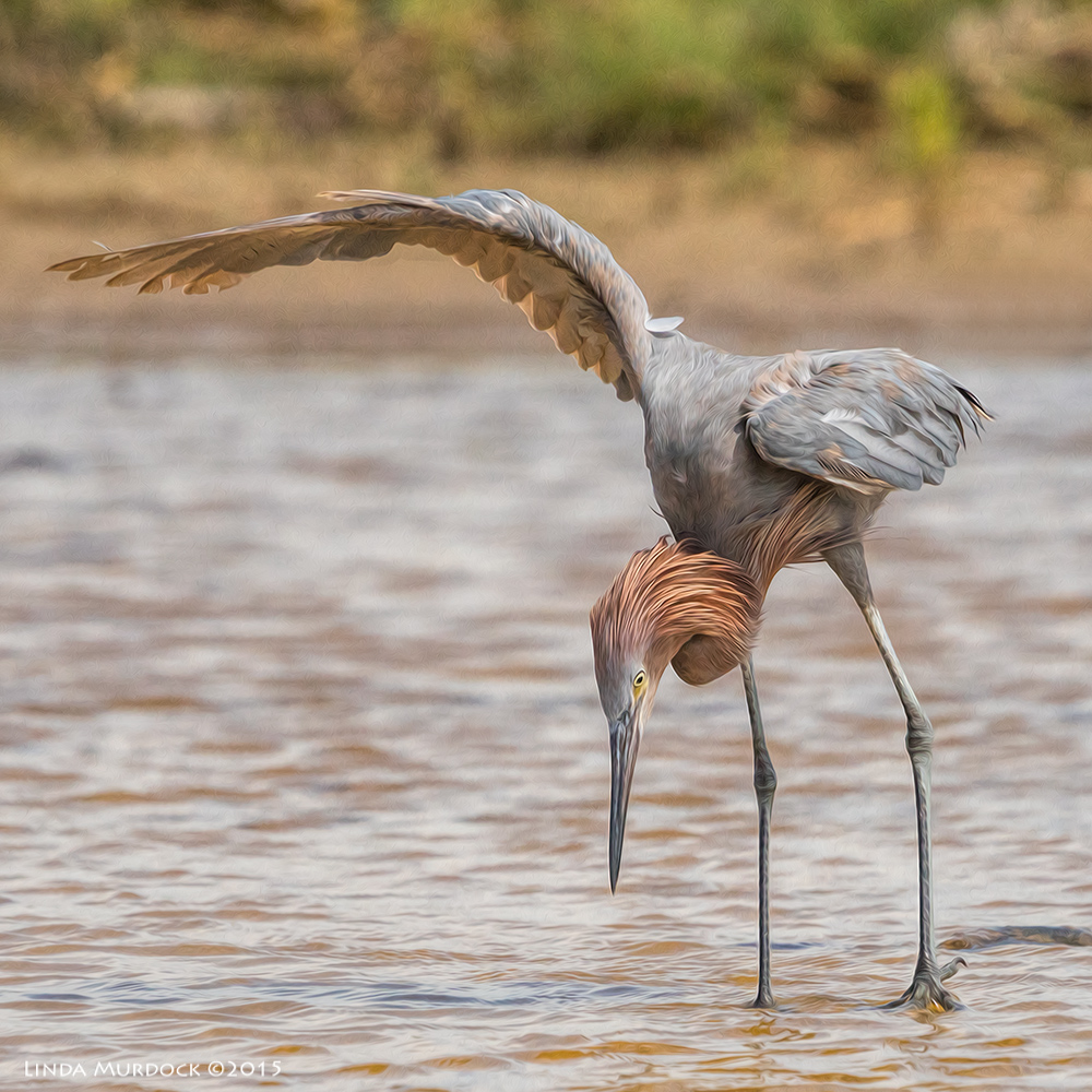 Reddish Egret intently fishing -   post processed with Fractalius and Photoshop Oil Paint    Sony A77II with Sony 70-400 G2 f/5.6  1/2000 sec ISO 800