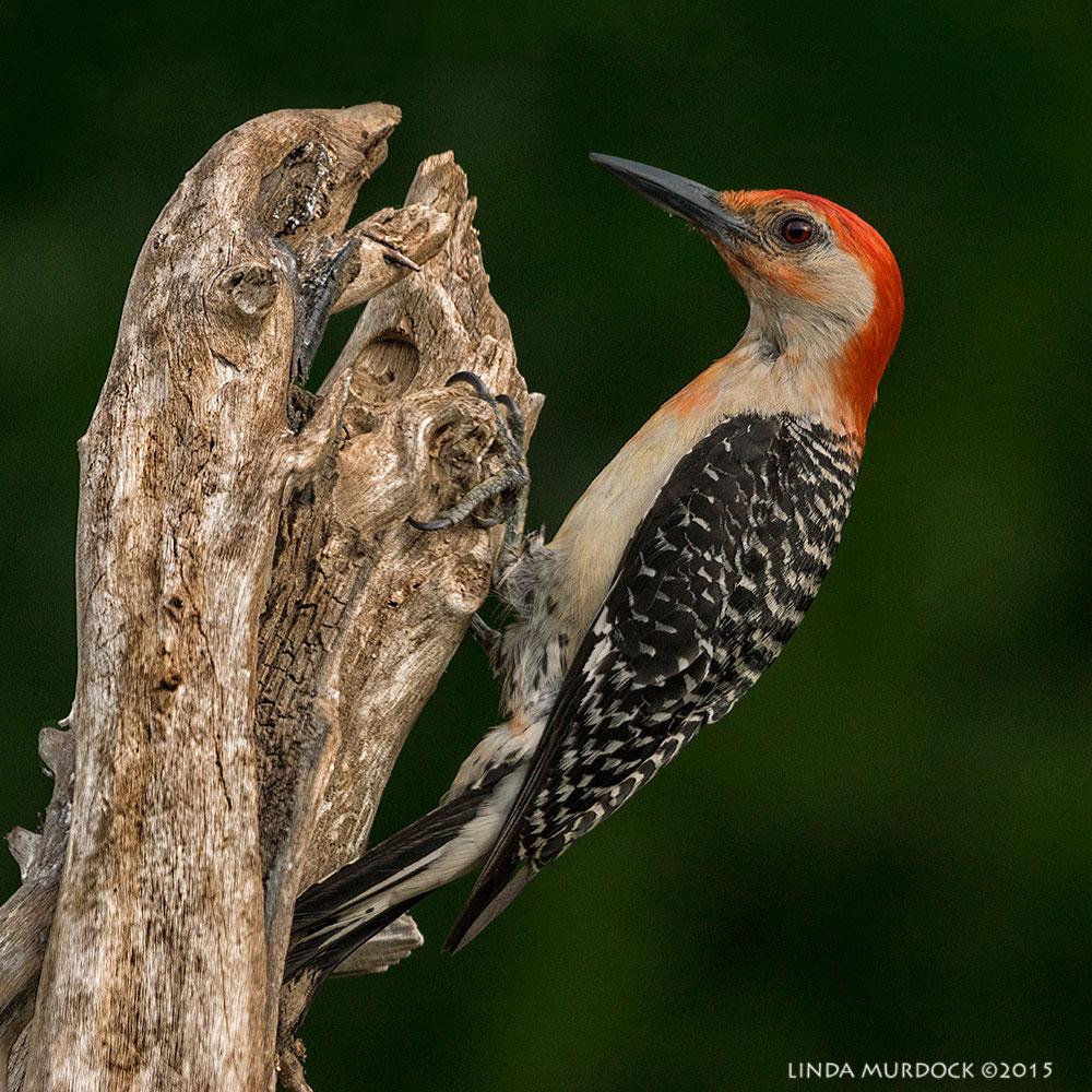 Rd-bellied Woodpecker profile    Sony A77II with Sony 70-400 G2 f/7.1 1/500sec ISO 800