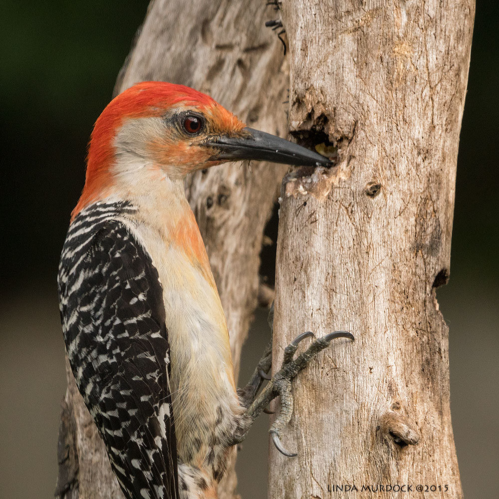 Woodpecker close-up; this cavity was filled with suet    Sony A77II with Sony 70-400 G2 f/7.1 1/400sec ISO 640