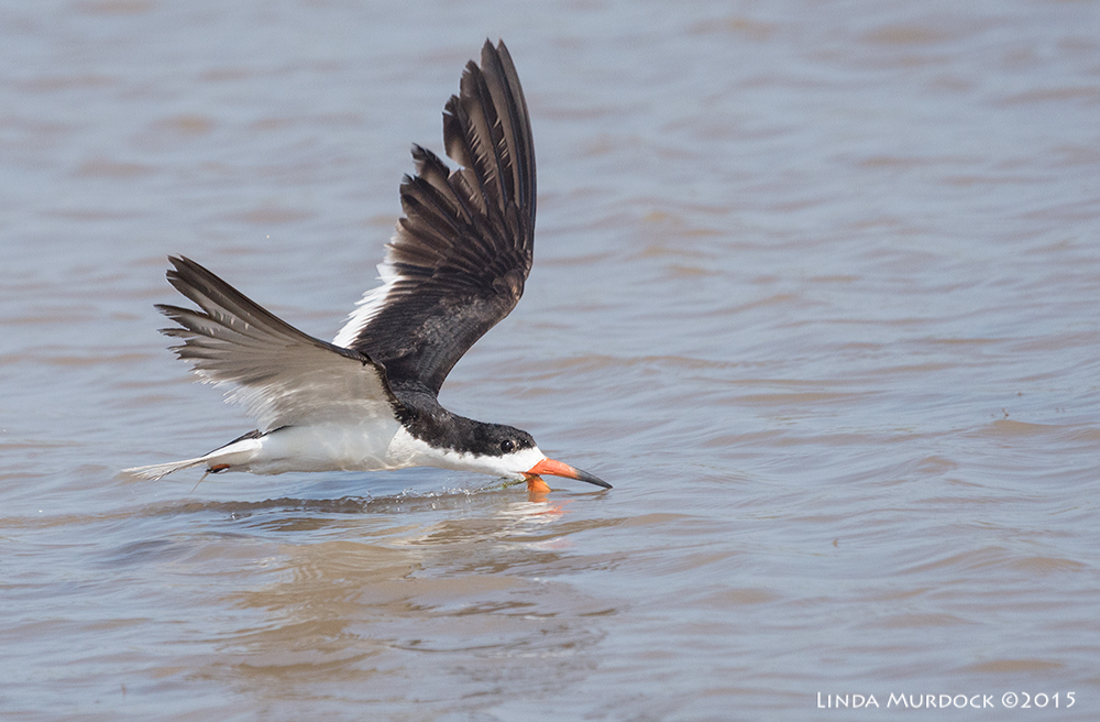 Black Skimmer looks like he is looking at me    Sony A77II with Sony 70-400 G2  f/6.3  1/2000 sec ISO 640