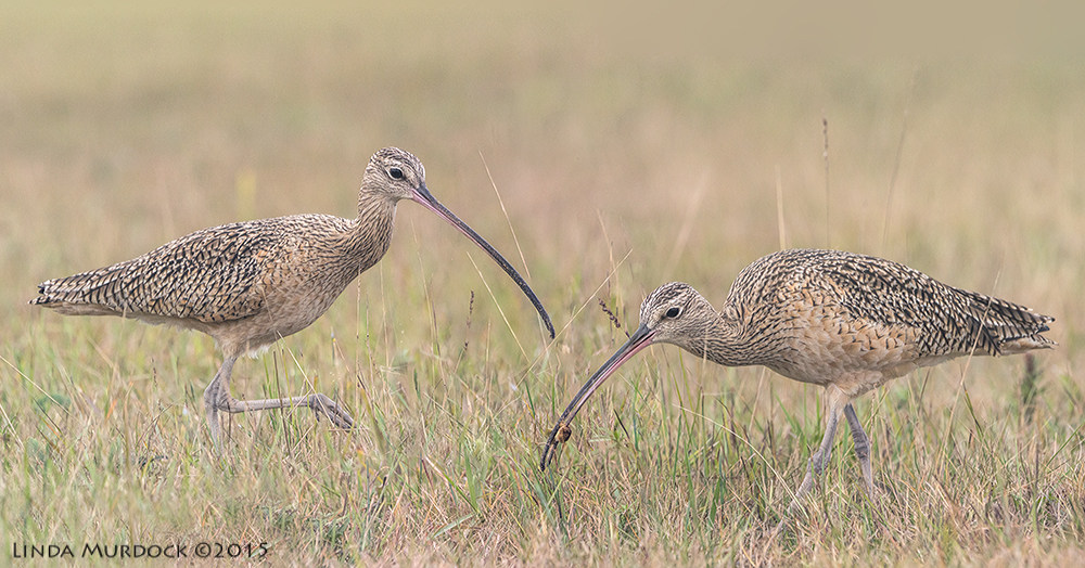 Composite Long-billed Curlews from last winter