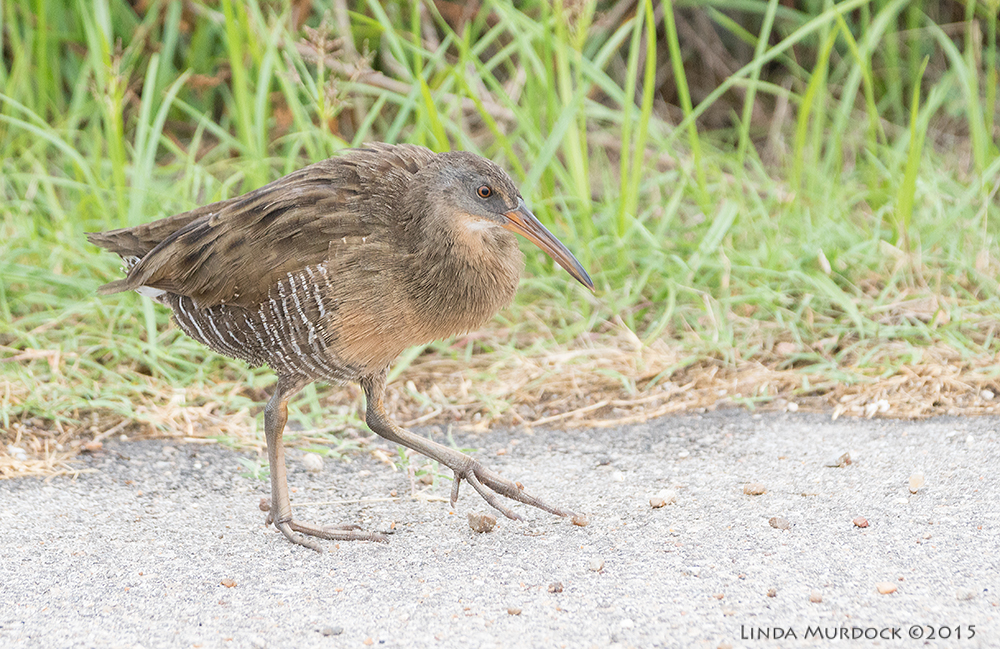 Clapper Rail tip-toeing down the road    Sony A77II with Sony 70-400 G2 f/5.6 1/1250 sec ISO 1250