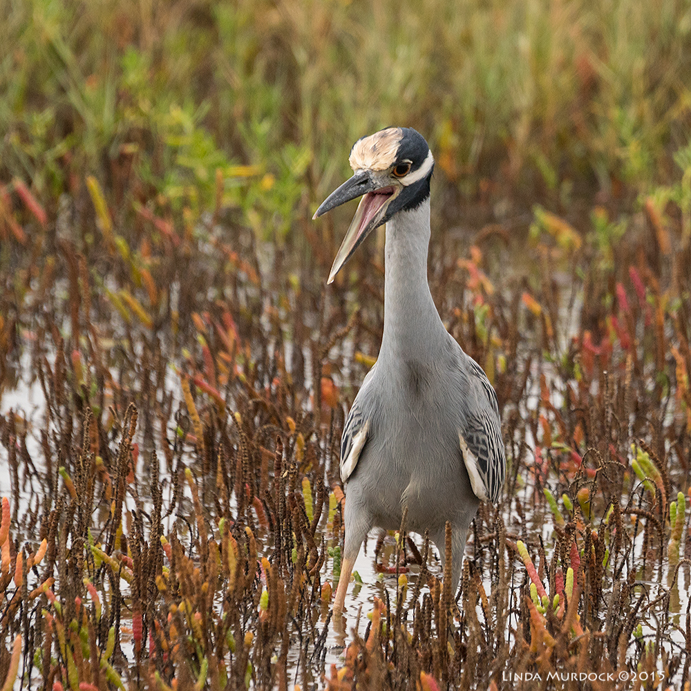 Yellow-crowned Night Heron    Sony A77II with Sony 70-400 G2    f/6.3  1/1600 sec ISO 1000