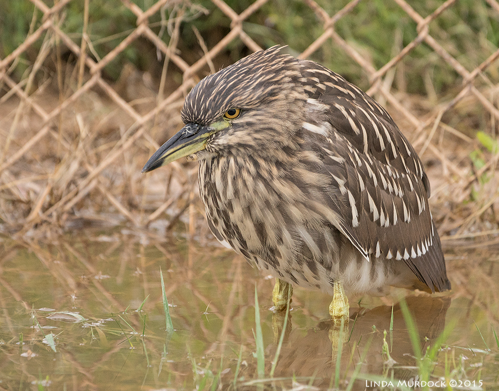 He is not mad, they always look like that - Juvenile Black-crowned Night Heron    Sony A77II with Sony 70-400 G2  f/5.6 1/400 sec ISO 1250