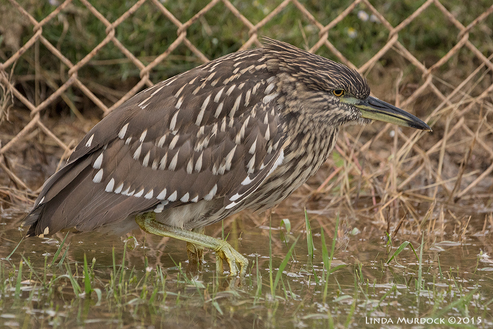 Black-crowned Night Heron on the move    Sony A77II with Sony 70-400 G2  f/6.3  1/500 sec ISO 1600