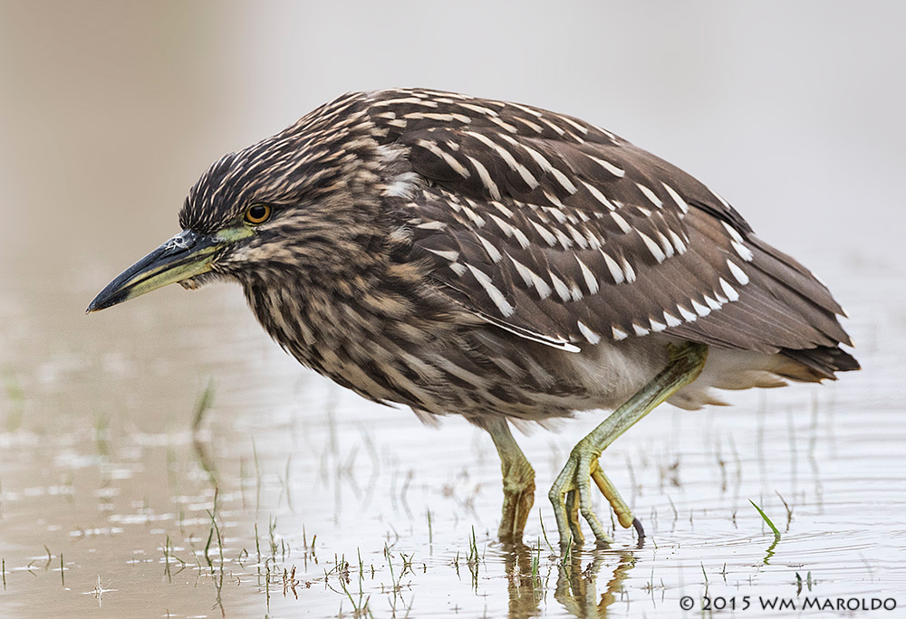 Juvenile Black-crowned Night Heron    photo by William Maroldo