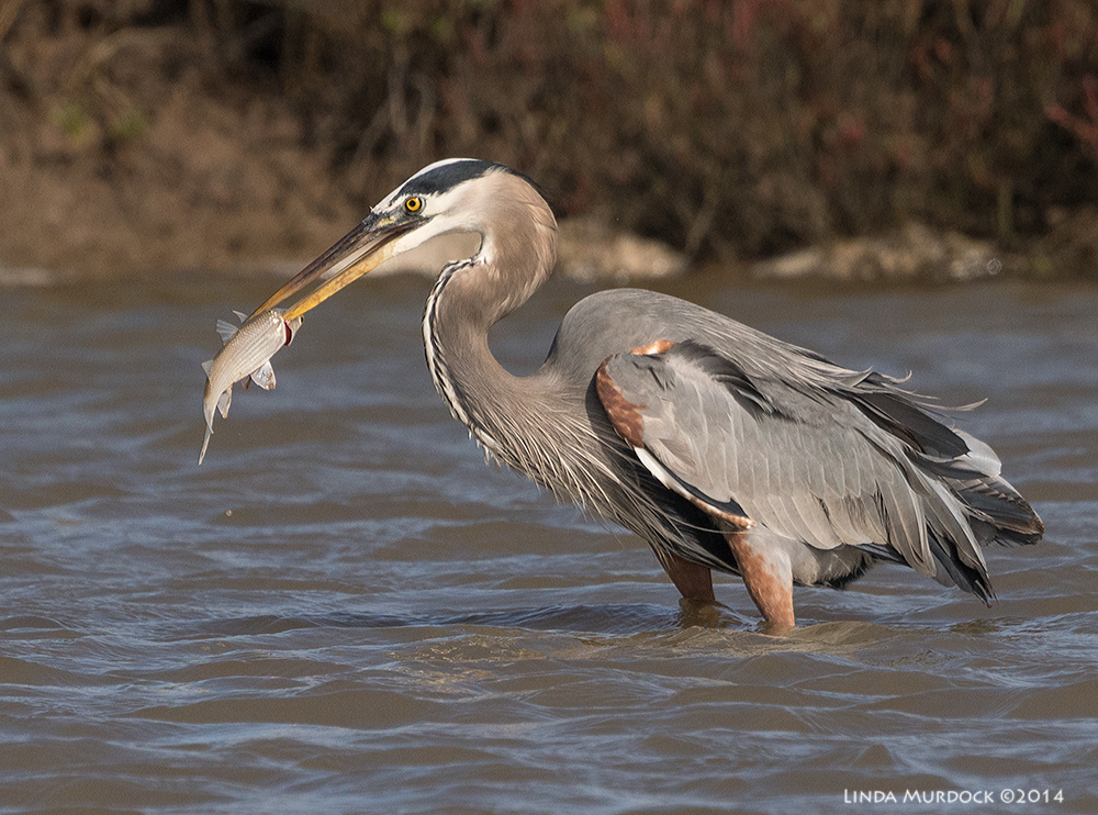 Great Blue with nice sized fish near Surfside