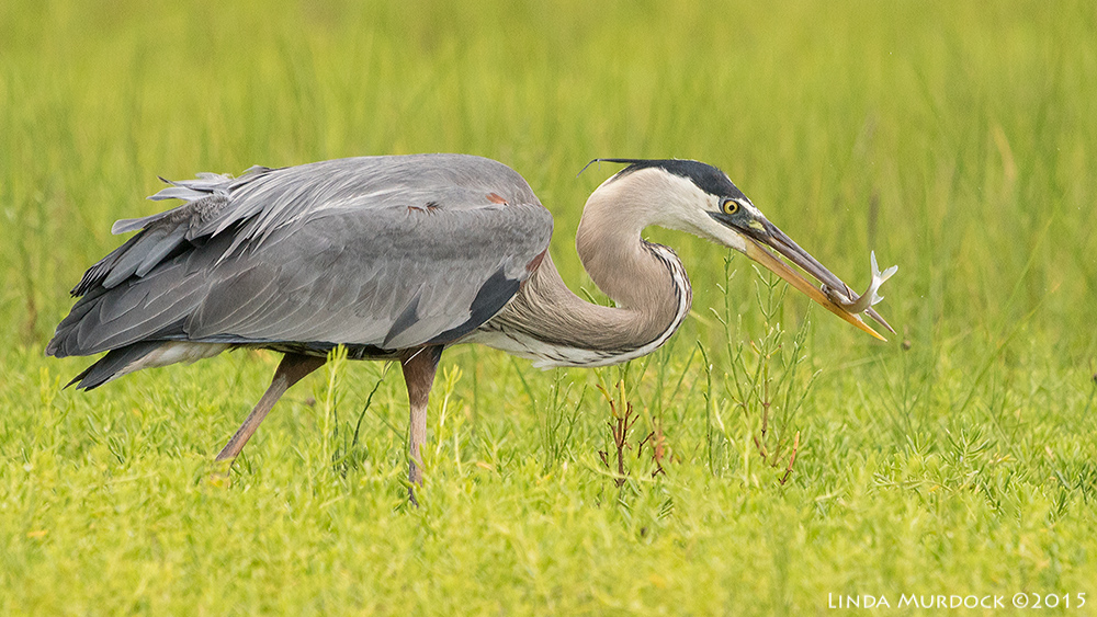 Great Blue with a smaller fish