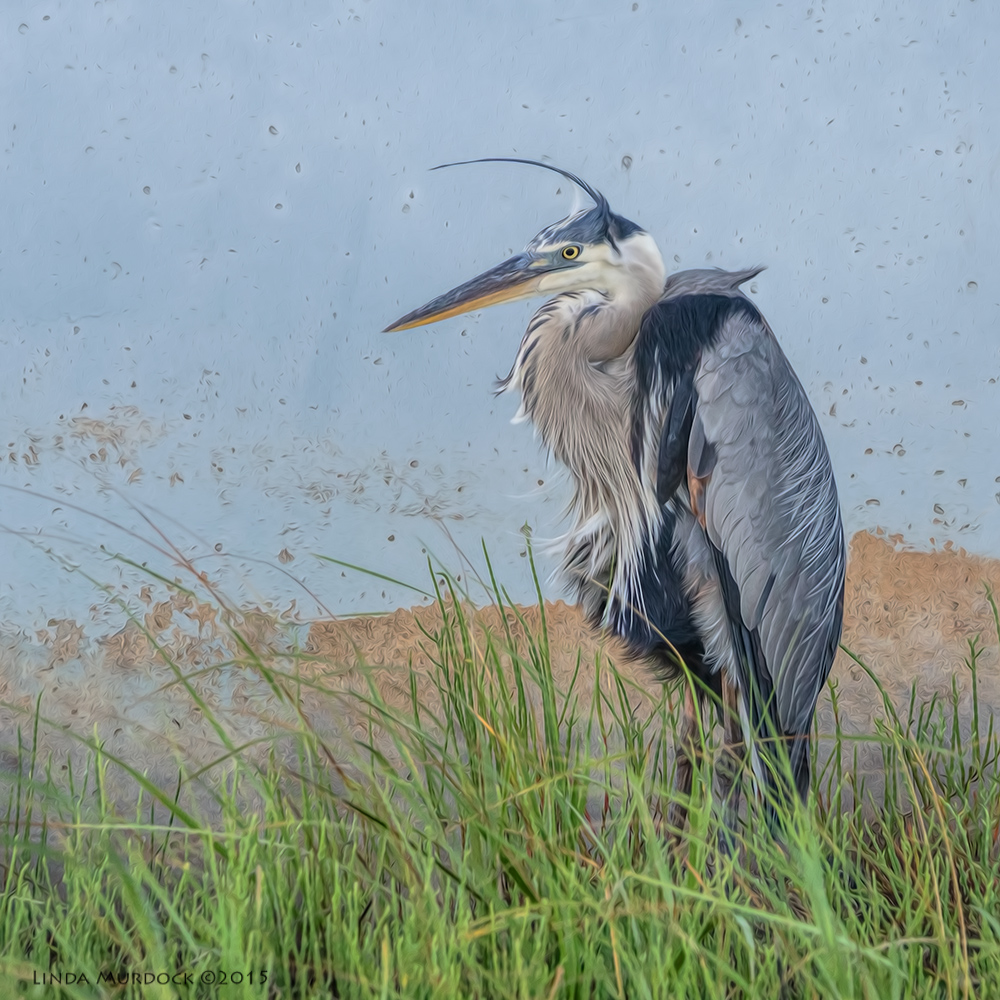 Great Blue Heron -post-processing with Fractalius and Oil Paint