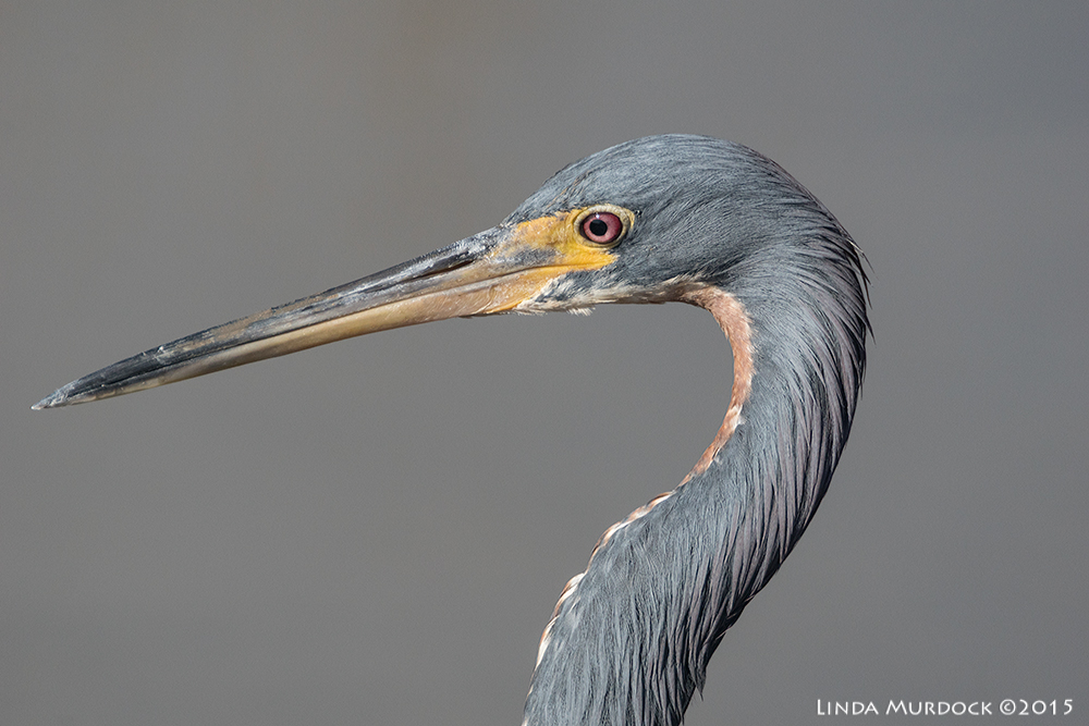 Tri-colored Heron at Surfside (no crop)    Sony A77II with Sony 500 f/4.0 G f/6.3 1/2000 ISO 500