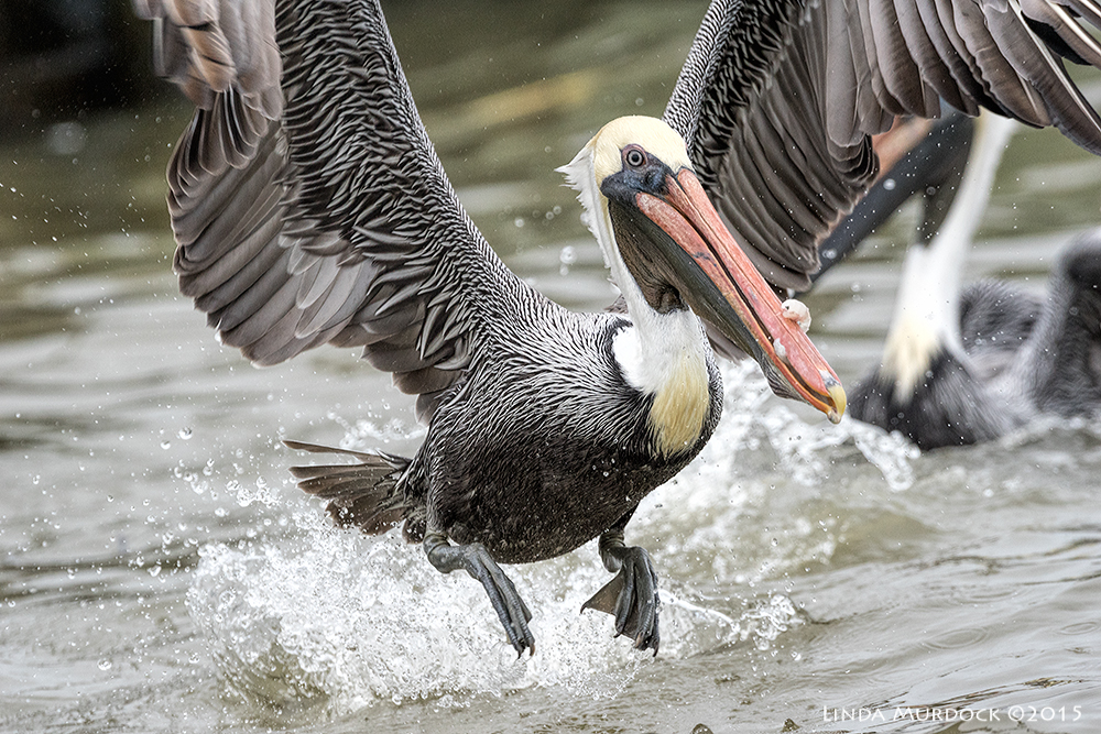 Brown Pelican free-for-all    Sony A77II with Sony 500 f/4.0 G f/6.3 /1600 ISO 800
