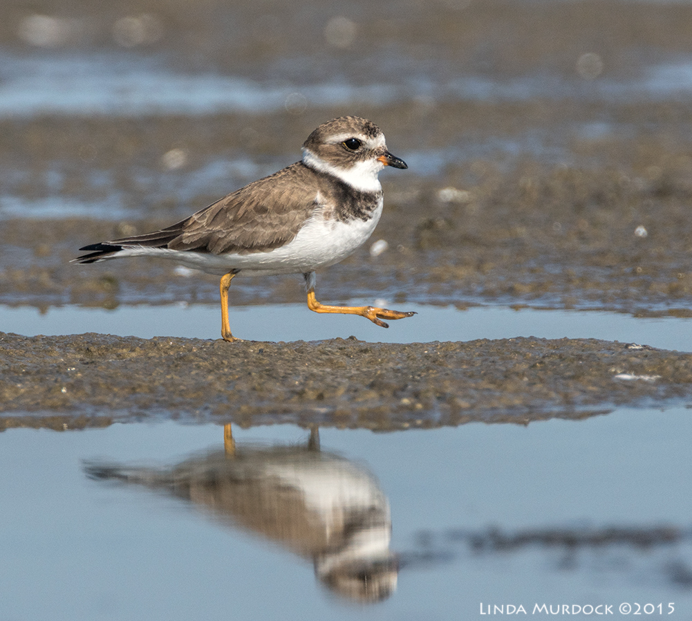 Strutting Semipalmated Plover    Sony A77II with Sony f/4 500 G f/7.1 1/1600 sec ISO 400; tripod
