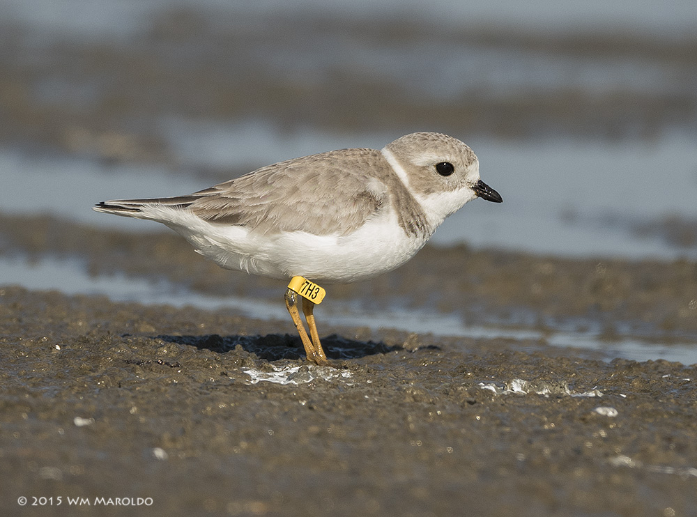 Piping Plover with tag. Always report banded birds!    Photo by William Maroldo - Nikon D810 with 500mm telephoto