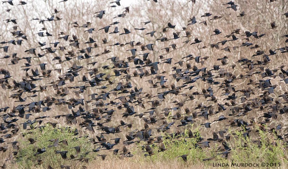 Mixed flock of Grackles,Brown-headed cowbirds and maybe Red-wing blackbirds     Sony A77II with Sony 70-400 G2 f/5.6 1/800 sec ISO 1250; hand held