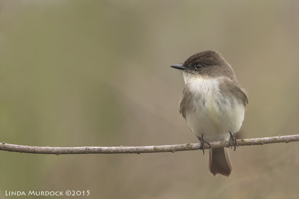 Eastern Phoebe out in the open    Sony A77II with Sony 70-400 G2 f/5.6 1/800 sec ISO 1000; hand held