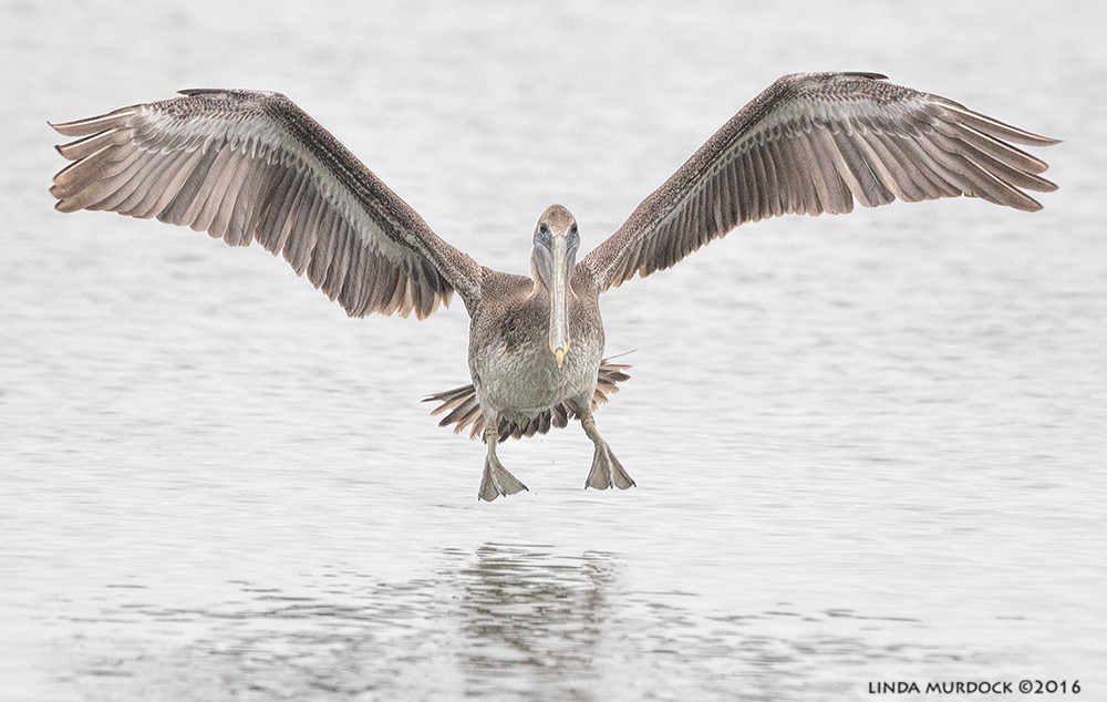Juvenile Brown Pelican near shrimp boats at Texas City Dike    Sony A77II with Sony 70-400 G2; f/6.3 1/1600 sec ISO 1250