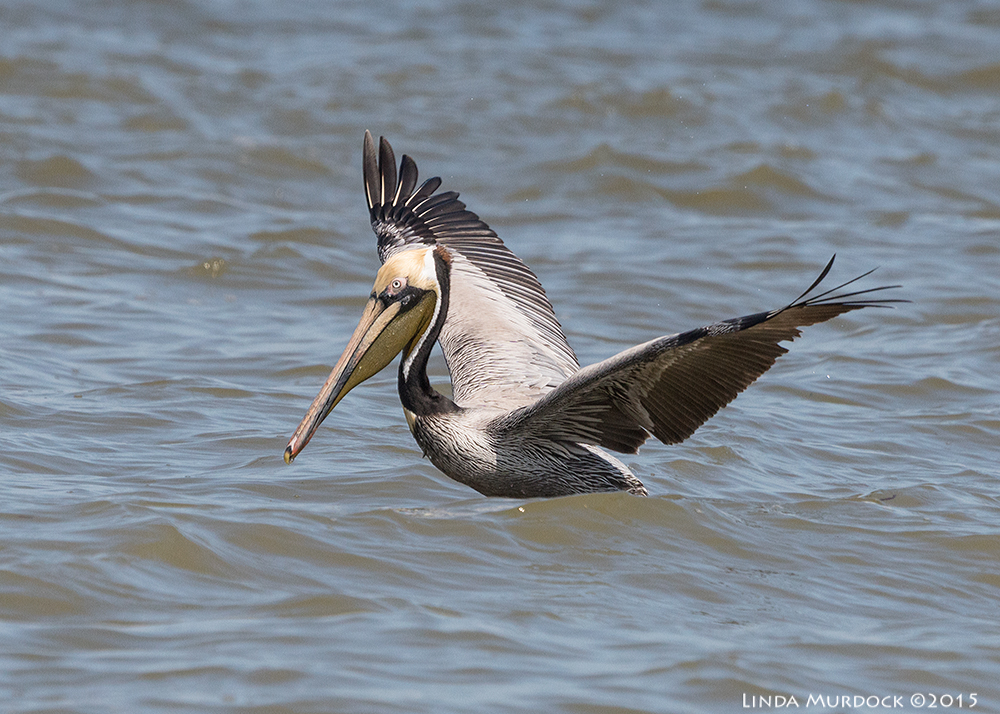 Adult Brown Pelican with breeding plumage    Sony A77II with Sony 70-400 G2; f/7.11/2000 sec ISO 640