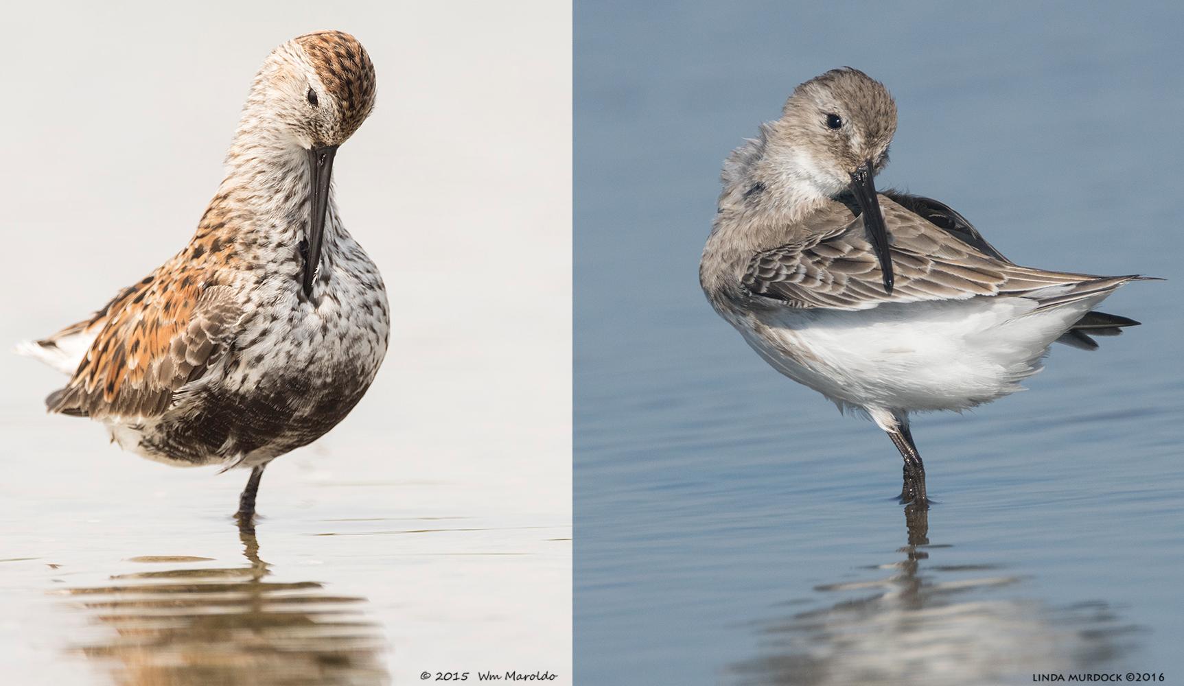 Dunlin in breeding plumage on the left, non-breeding Dunlin on the right
