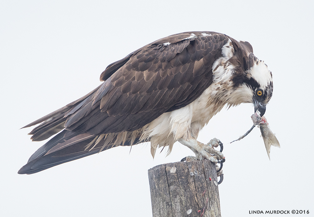 Osprey with the tail end    Sony A77II with Sony 500 f/4.0 G; f/5.6 1/640 sec ISO 2000