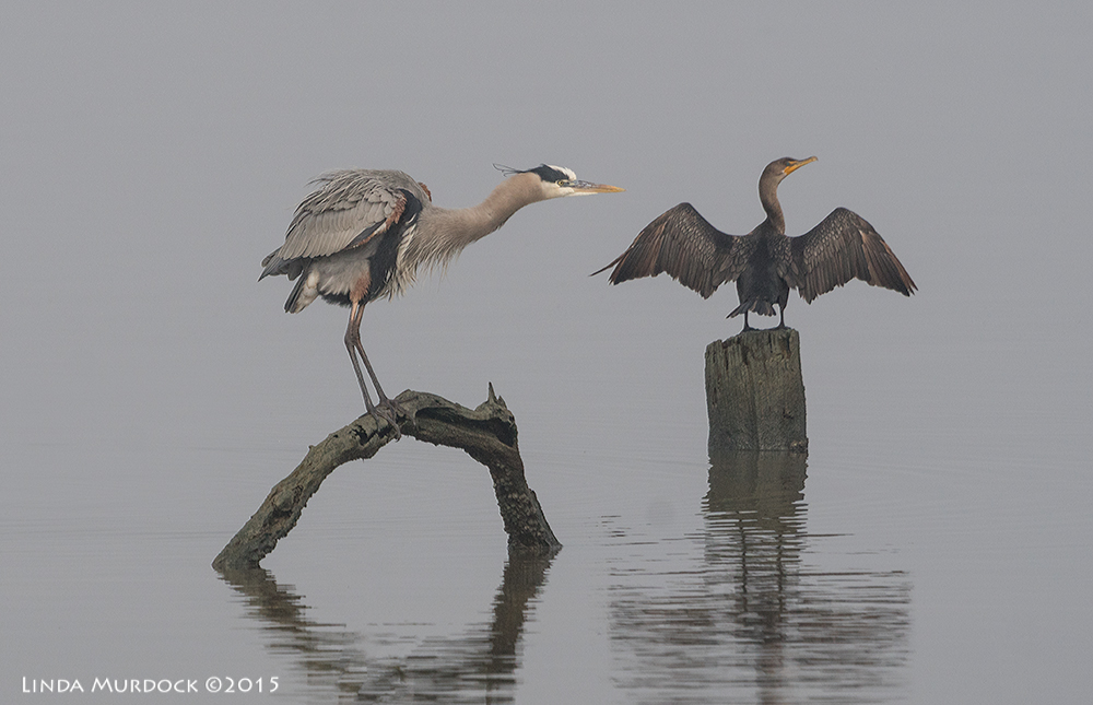 Great Blue Heron and Neotropic Cormorant