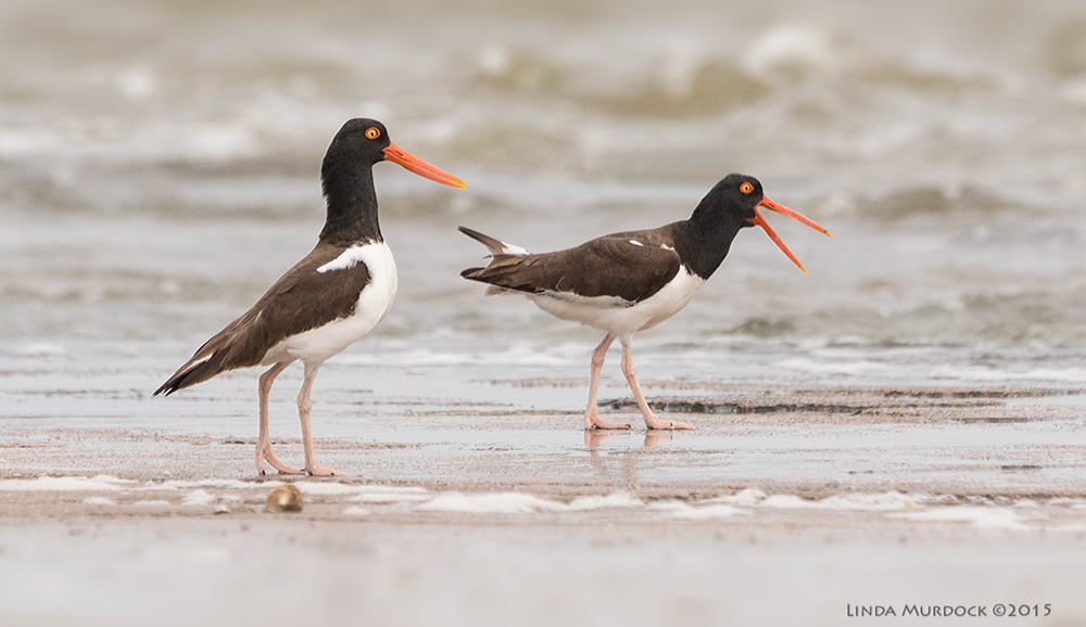 Oystercatchers at the edge of the shore. This pair may have been exhibiting courtship behavior (walking together and calling)