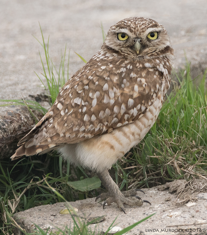 Burrowing Owl just before he scooted off into the brush   Sony A77II with Sony f/4 500 Gf/6.3 1/800 sec ISO 1250; tripod from the road