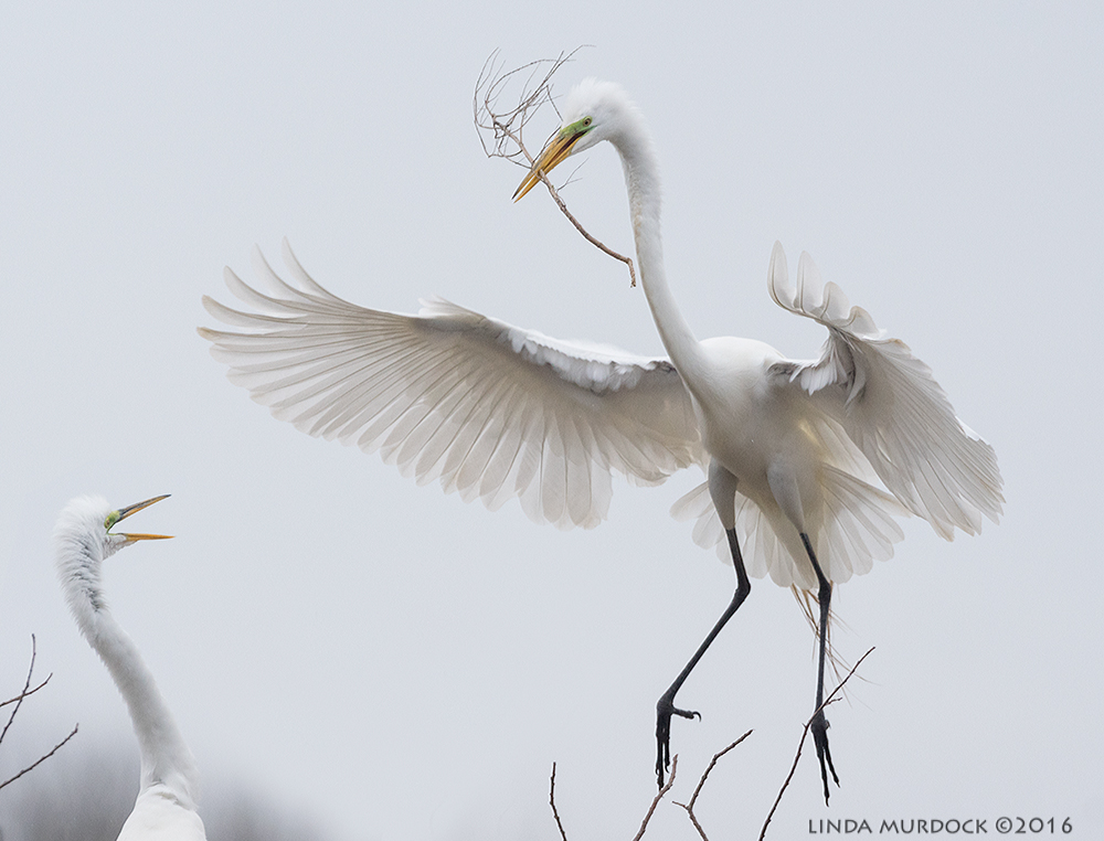 Great Egret with stick for female to add to nest   Sony A77II with Sony f/4 500 G ~ f/6.3 1/2000 sec ISO 1000