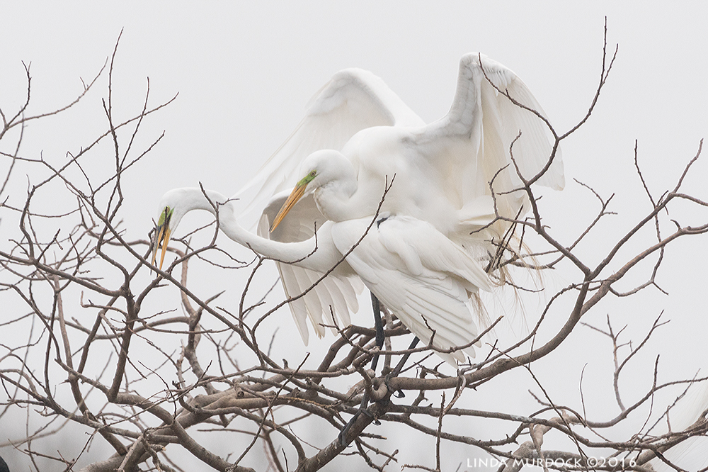 Mating Great Egrets at Smith Oaks Rookery   Sony A77II with Sony f/4 500 G ~ f/6.31/2000 sec ISO 1000; tripod