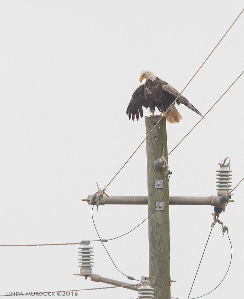 Surprise Bald Eagle near Byron Beach ponds Sony A77II with Sony 70-400 G2 ~ f/6.3 1/2000 sec ISO 800; hand-held