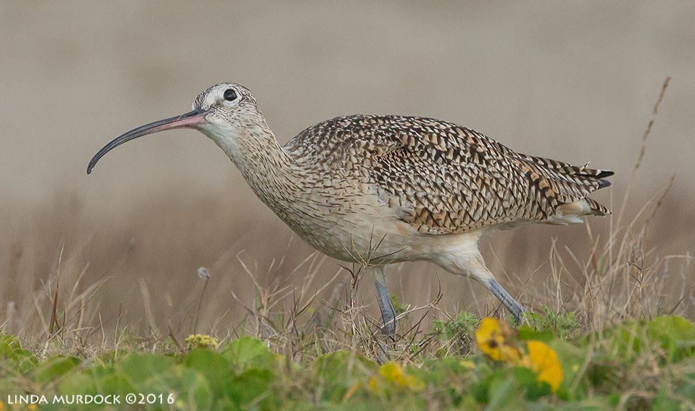 Long-billed Curlew checking the sky at Texas City Dike Sony A77II with Sony f/4 500 G ~ f/8.01/1600 sec ISO 1000; tripod