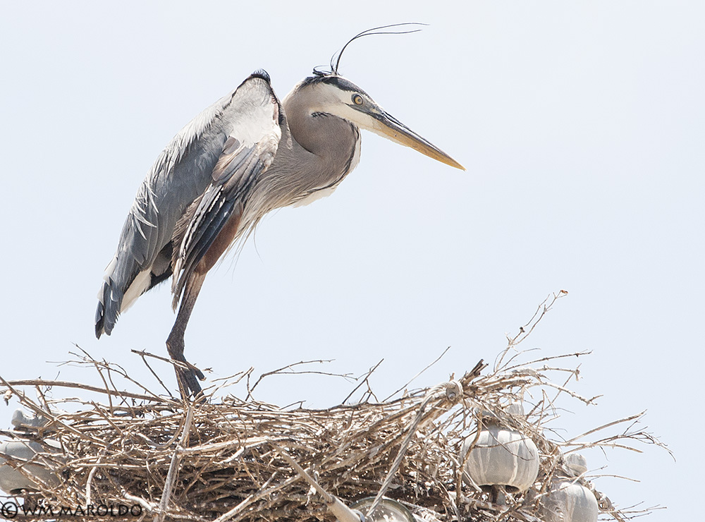 BW on his nest near the Intracostal Canal in 2009 ~ Photo by William Maroldo