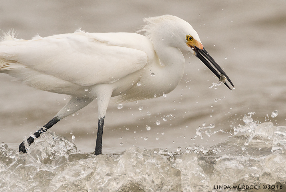 Snowy Egret fishing in the surf at Texas City Dike    Sony A77II with Sony f/4 500 G ~ f/8.0 1/1600 sec ISO 640; tripod
