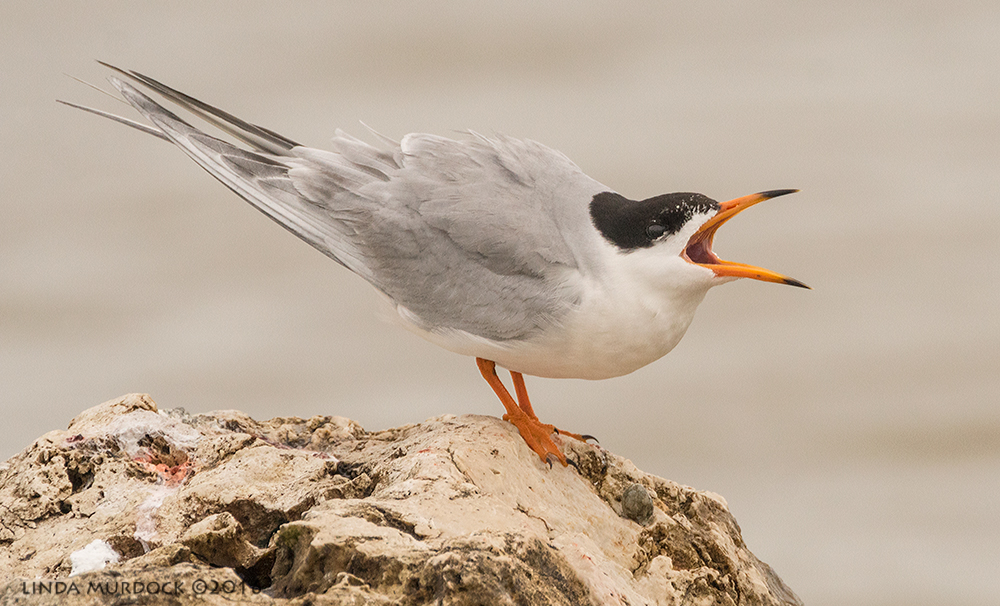 Forster's Tern calling and calling   Sony A77II with Sony f/4 500 G ~ f/8.0 1/2000 sec ISO 1000