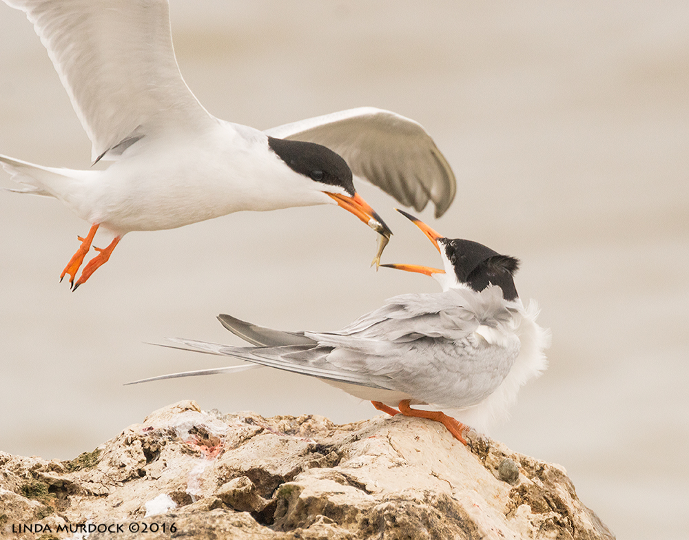 Male Forster's Tern passing fish to waiting female   Sony A77II with Sony f/4 500 G ~ f/8.0 1/2000 sec ISO 1000