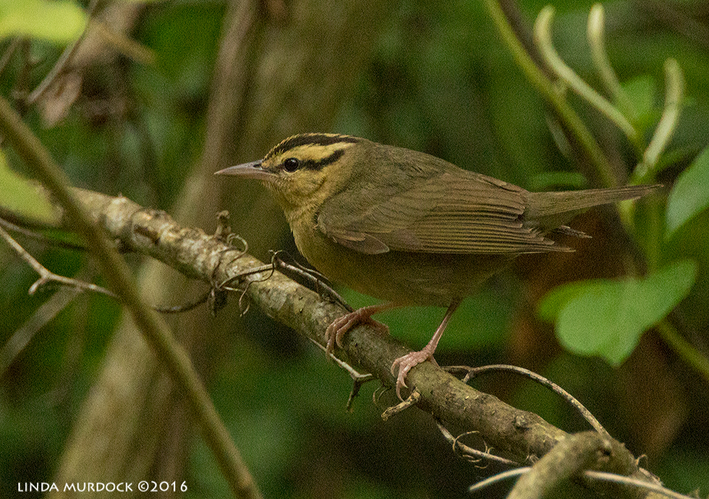 Worm-eating Warbler Sony A77II with Sony f/4 500 G ~ f/5.6 1/500 sec ISO 2000; tripod