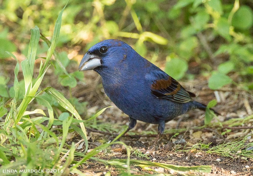 Blue Grosbeak at Quintana Sony A77II with Sony f/4 500 G ~ f/6.3 1/400 sec ISO 2000; tripod