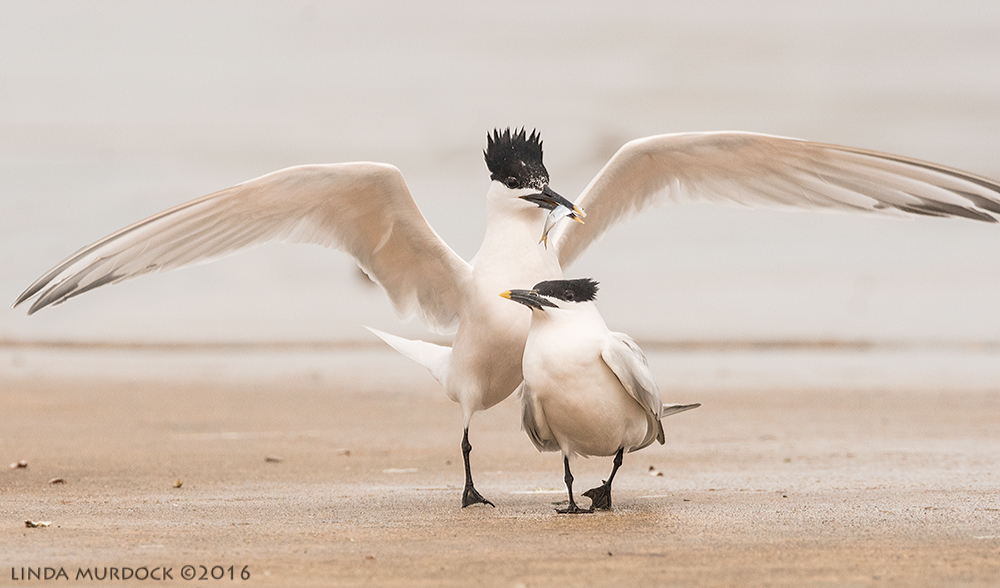Sandwich Tern with fish for female Sony A77II with Sony f/4 500 G ~ f/8.0 1/2000 sec ISO 1000