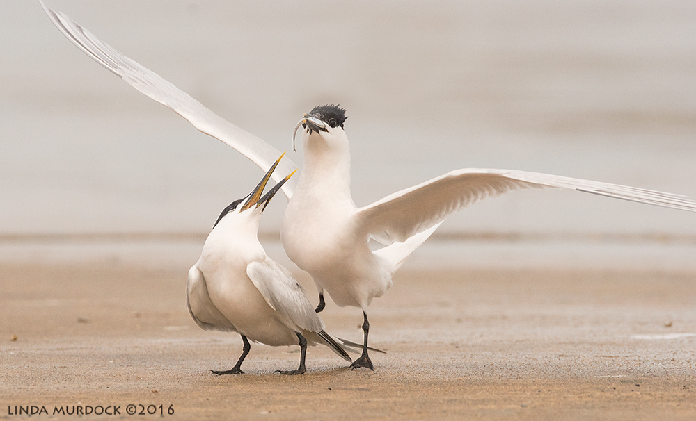 Sandwich Terns starting to court... Sony A77II with Sony f/4 500 G ~ f/8.0 1/2000 sec ISO 1000