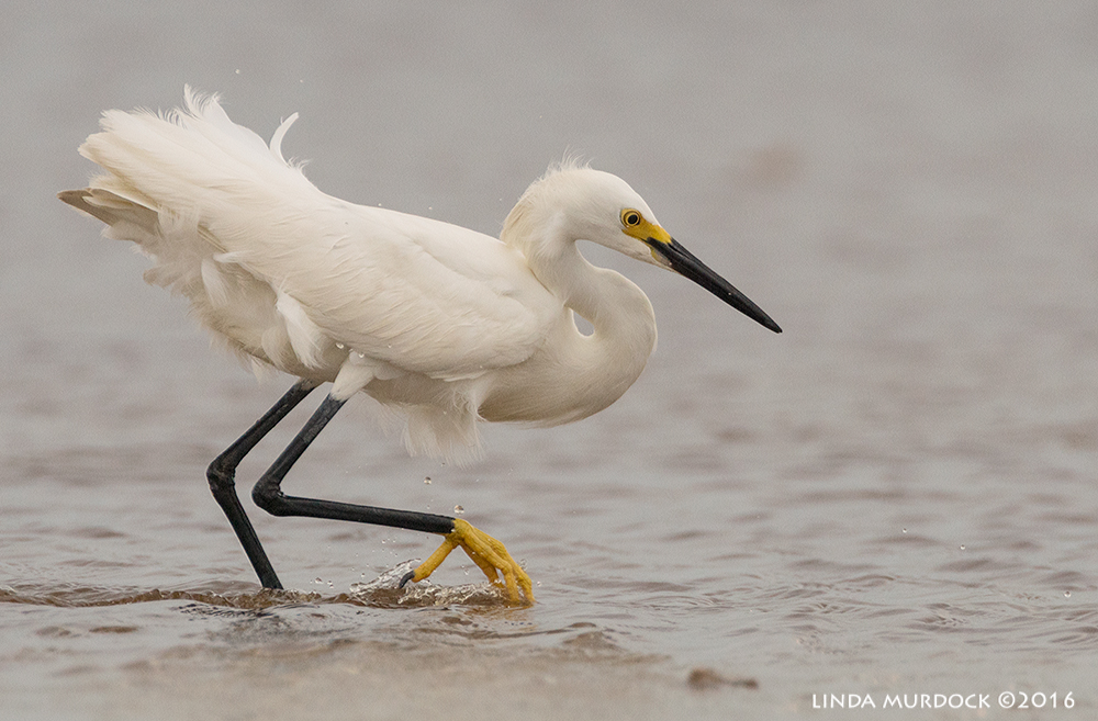 Snowy Egret on the prowl at Texas City Dike Sony A77II with Sony f/4 500 G f/6.3 1/2000 sec ISO 640; tripod