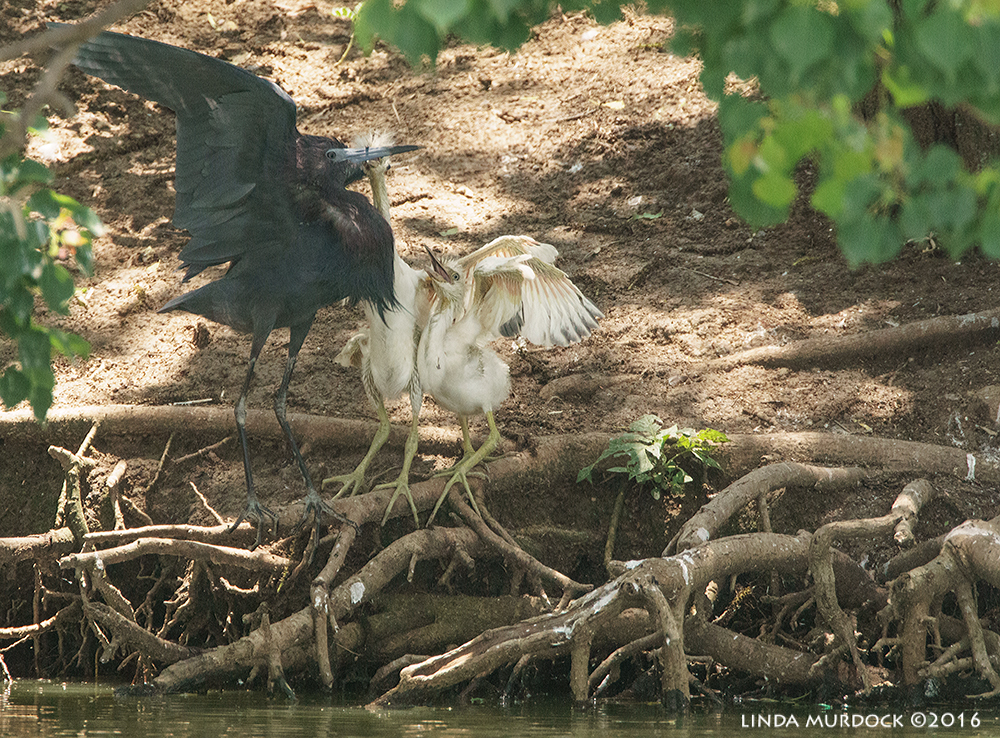 Little Blue Heron and wayward chicks   Sony A77II with Sony f/4 500 G f/7.1 1/800 sec ISO 1250; tripod