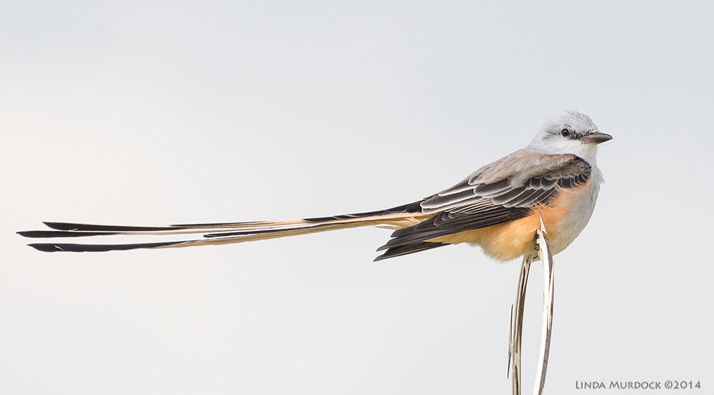 Scissor-tailed Flycatcher from 2014. Taken with Sony A77II and 70-400 G2 lens