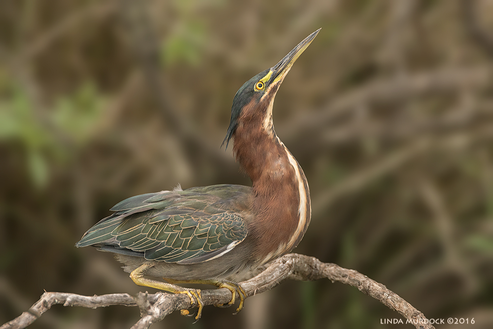Green Heron showing you what a stupendous bird he is    Sony A77II with Sony f/4 500 G +1.4x TC; 1/1000 sec   f/6.3 ISO 1250; braced in vehicle window; background slightly blurred with my Mad Photoshop Skilz