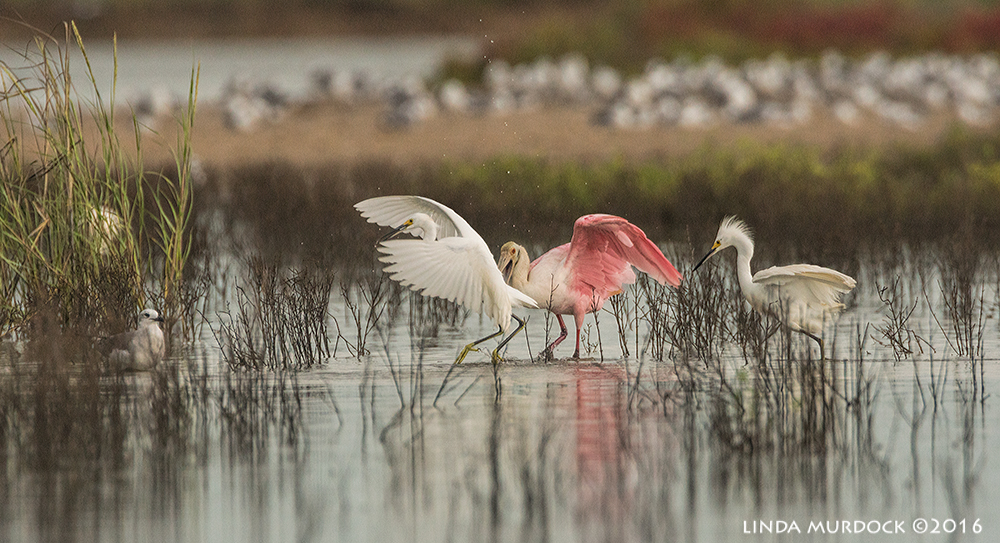 Roseate Spoonbill lands in the midst of some Snowys    Sony A77II with Sony f/4 500 G   + 1.4x TC;   1/1000 sec   f/7.1 ISO 1250; tripod