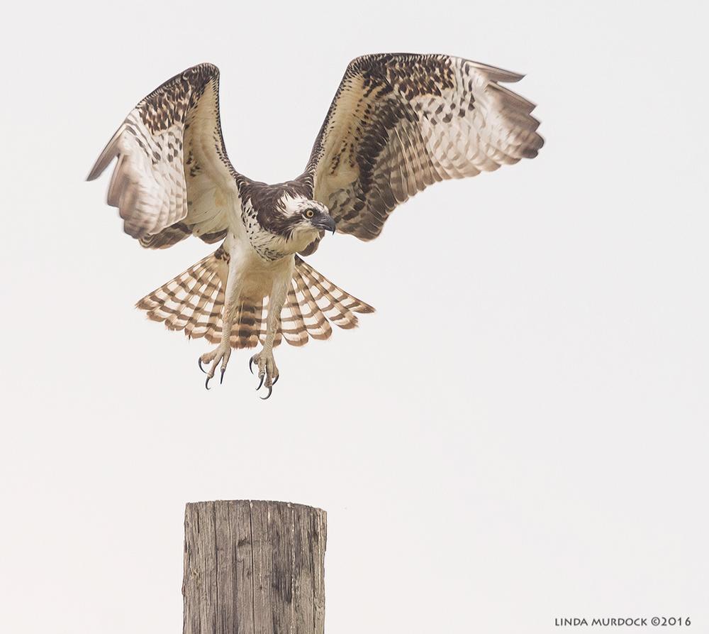 Osprey making a soft landing
